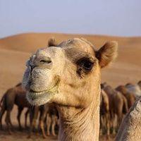 Как верблюд выживает в пустыне