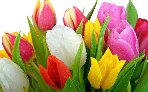 Тюльпан символ какой страны